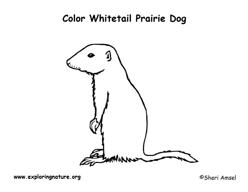 Prairie Dog (White-tailed) Coloring Page