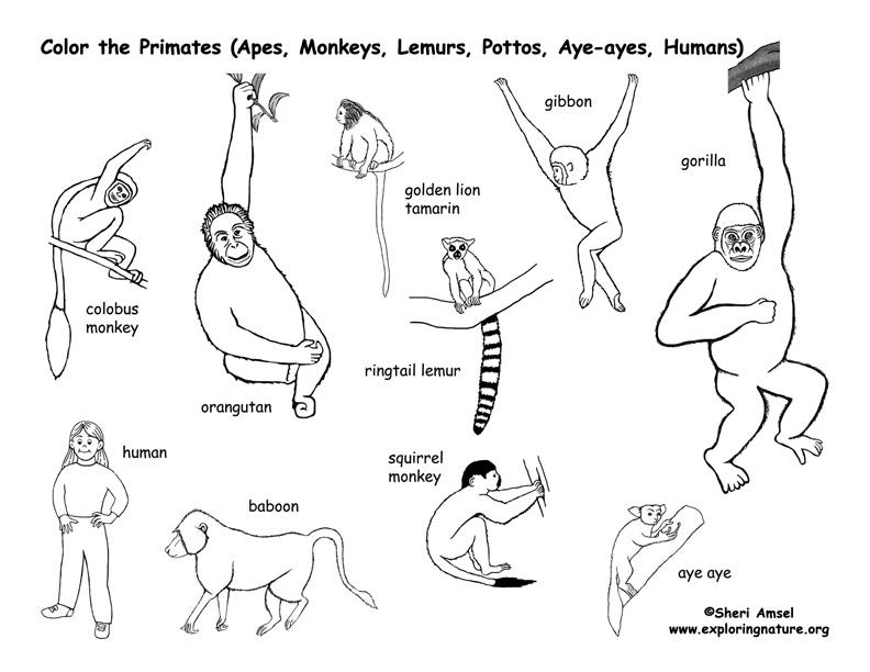 Primates Coloring Page