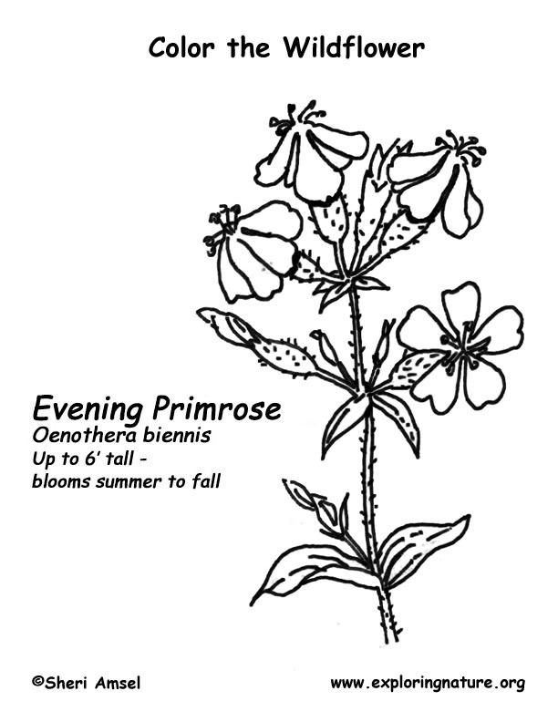 Primrose Coloring Page