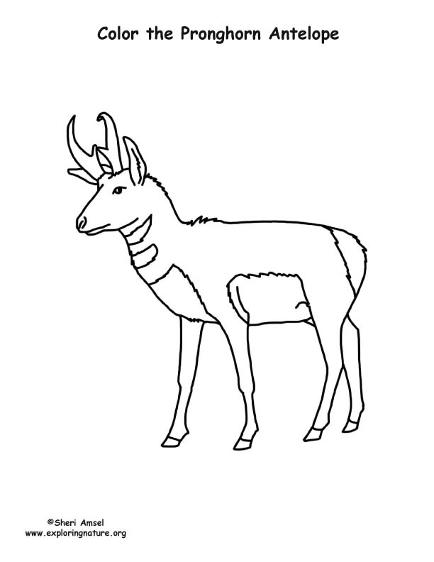 Pronghorn Antelope Coloring Page