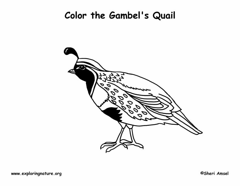 Quail (Gambel's) Coloring Page