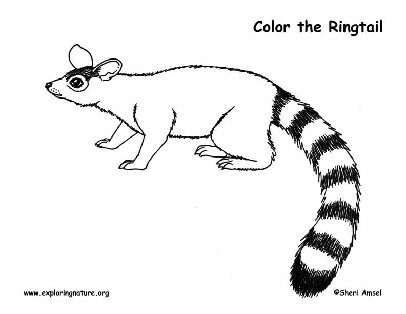 Ringtail Coloring Page
