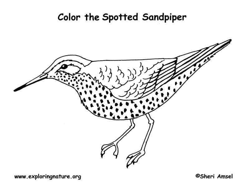 Sandpiper (Spotted) Coloring Page