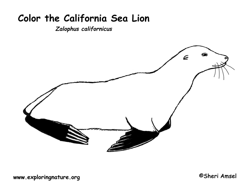 Sea Lion (California) Coloring Page