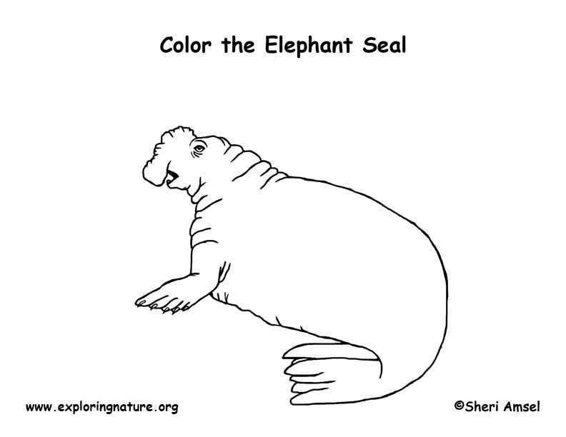Seal (Elephant) Coloring Page