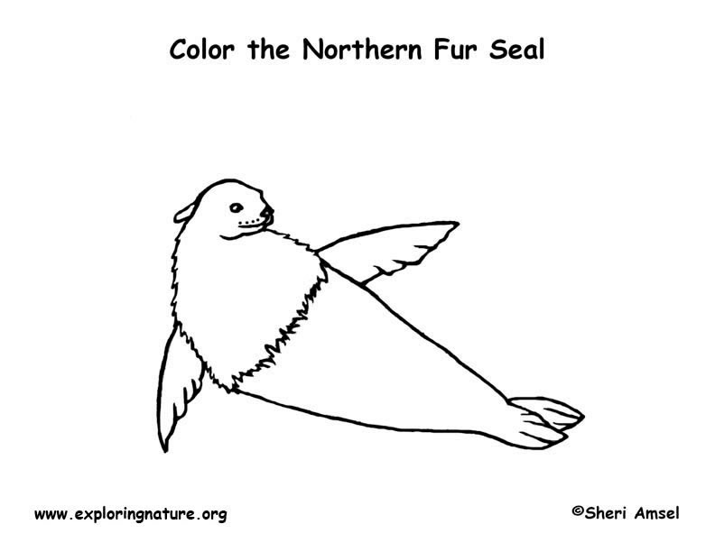Seal (Fur) Coloring Page