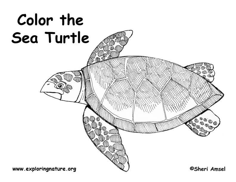 Hawkbill Sea Turtle Coloring Page