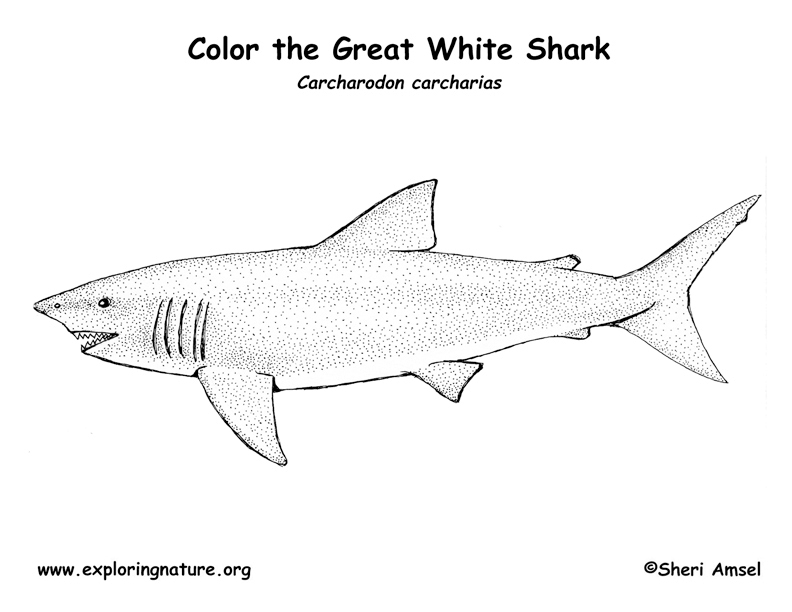 Shark (Great White) Coloring Page
