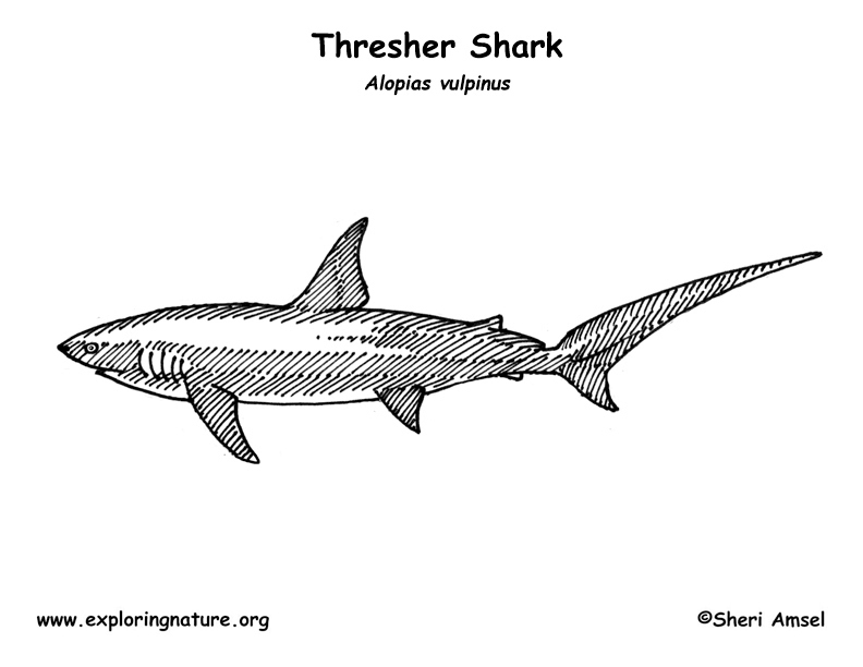 Shark (Thresher) Coloring Page