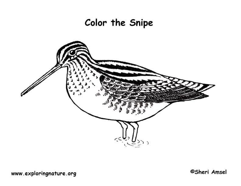 Snipe Coloring Page