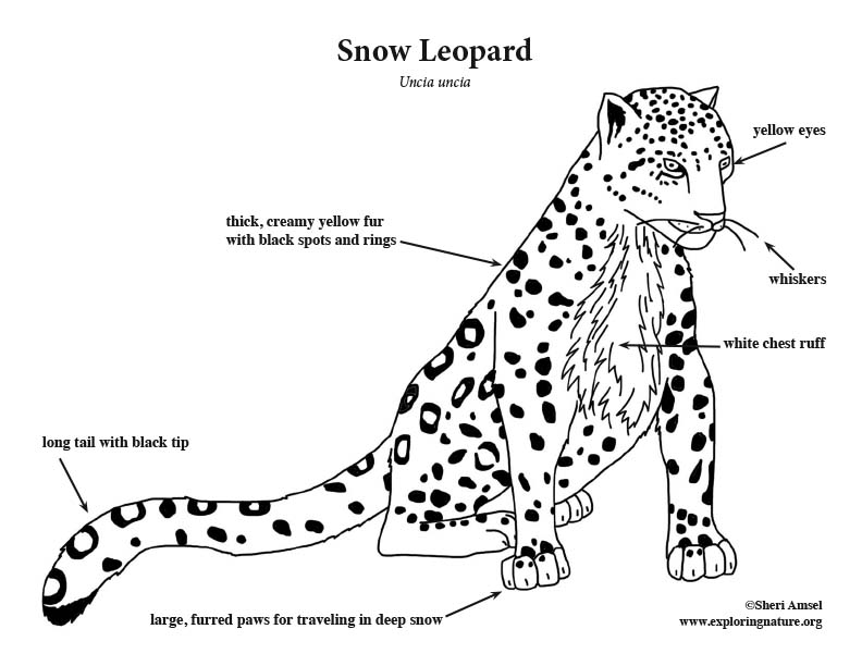 Snow Leopard Coloring Page
