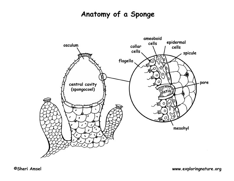 Sponge Anatomy Coloring Page