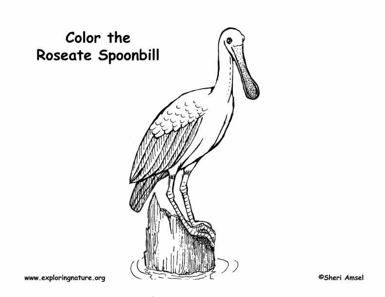 Spoonbill (Roseate) Coloring Page