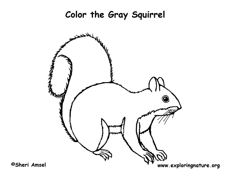 Squirrel (Gray) Coloring Page