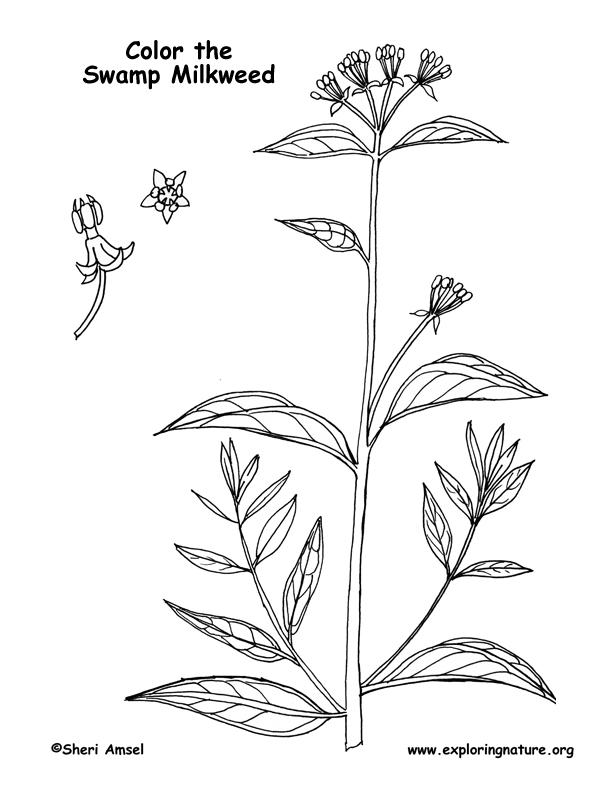 Milkweed (Swamp) Coloring Page