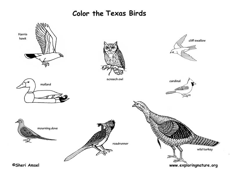 Texas Birds Coloring Page