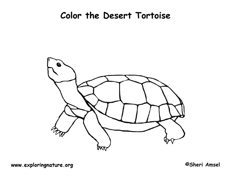Tortoise (Desert) Coloring Page