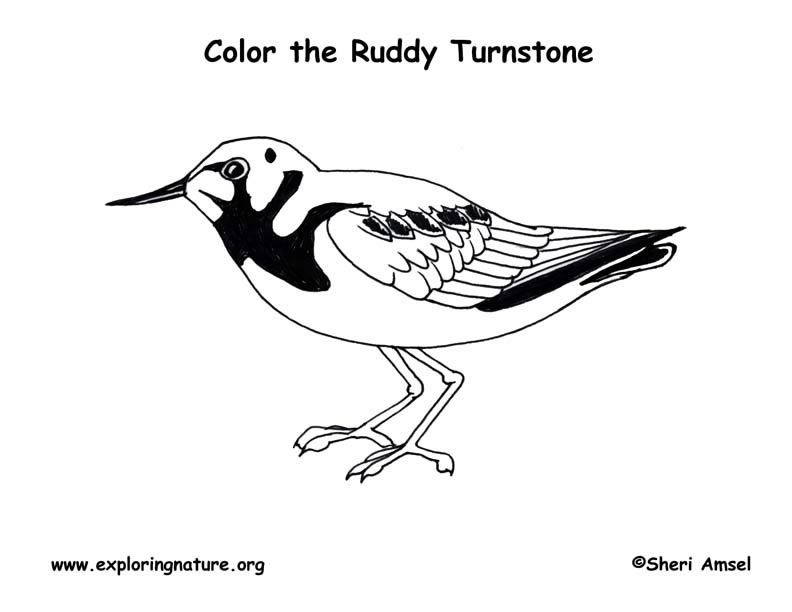 Ruddy Turnstone Coloring Page
