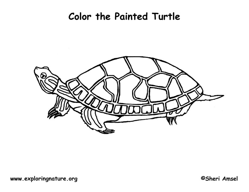 Turtle (Painted) Coloring Page