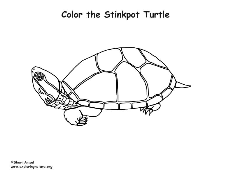 Stinkpot Turtle Coloring Page