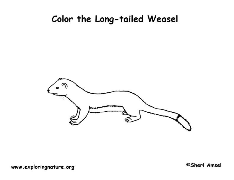 Weasel (Long-tailed) Coloring Page
