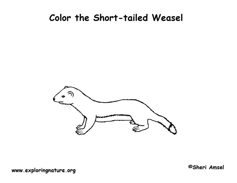 Weasel (Short-tailed) or Ermine Coloring Page