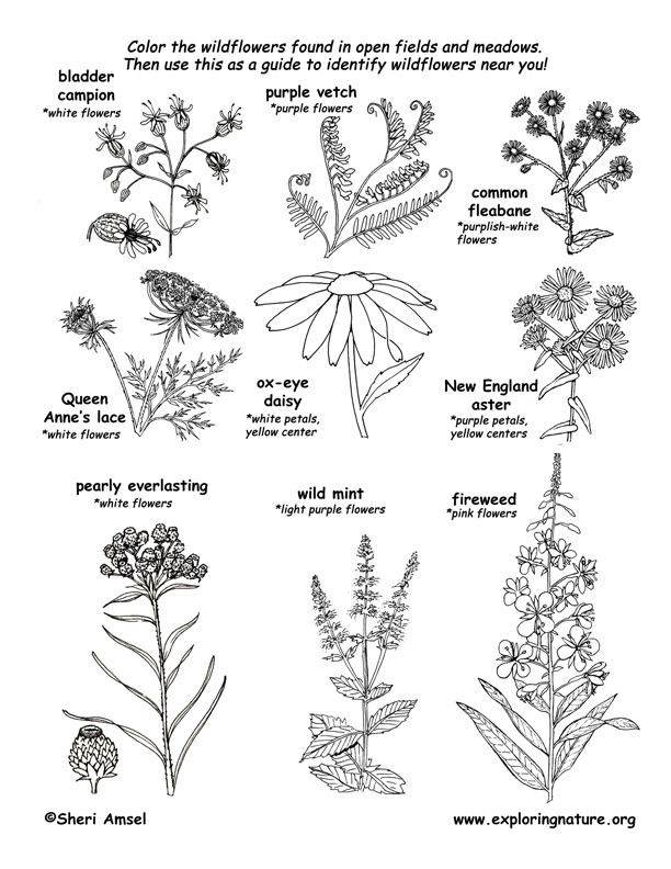 Meadow Wildflowers Coloring Page 1