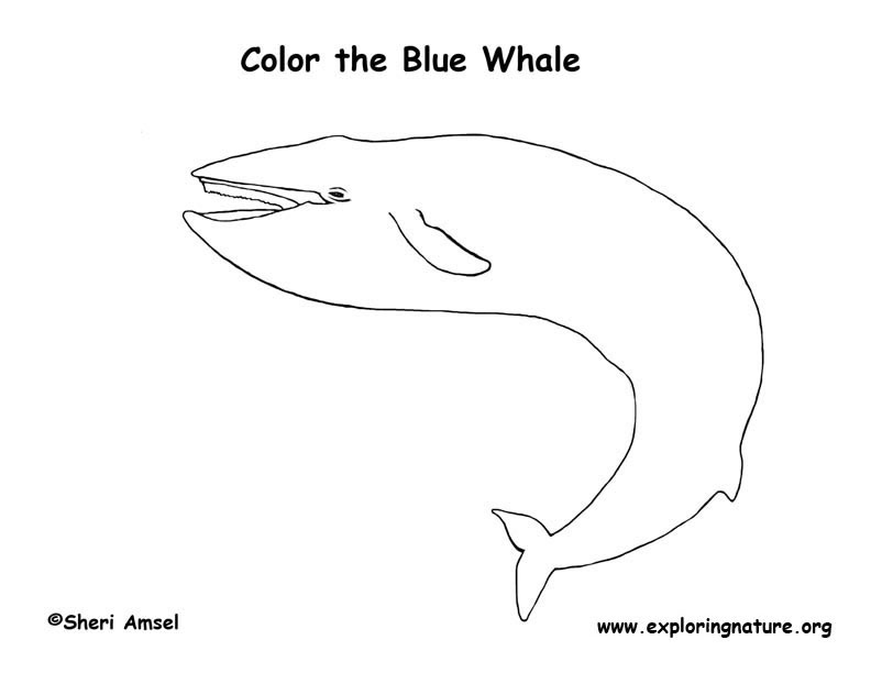 Whale (Blue) Coloring Page