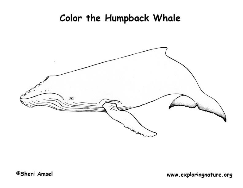 Whale (Humpback) Coloring Page
