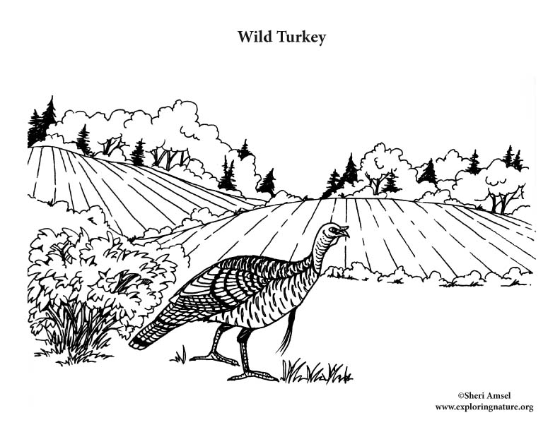 Wild Turkey (in Habitat) Coloring Page