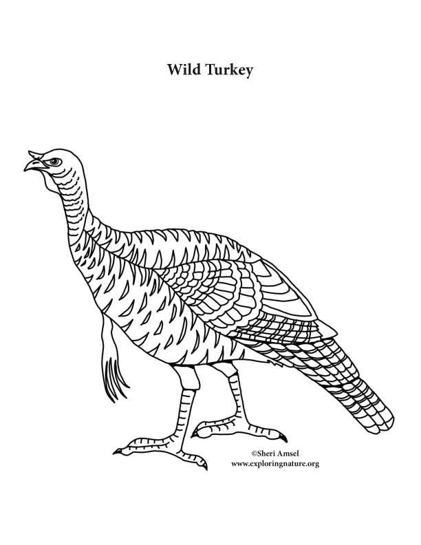Wild Turkey Coloring Page