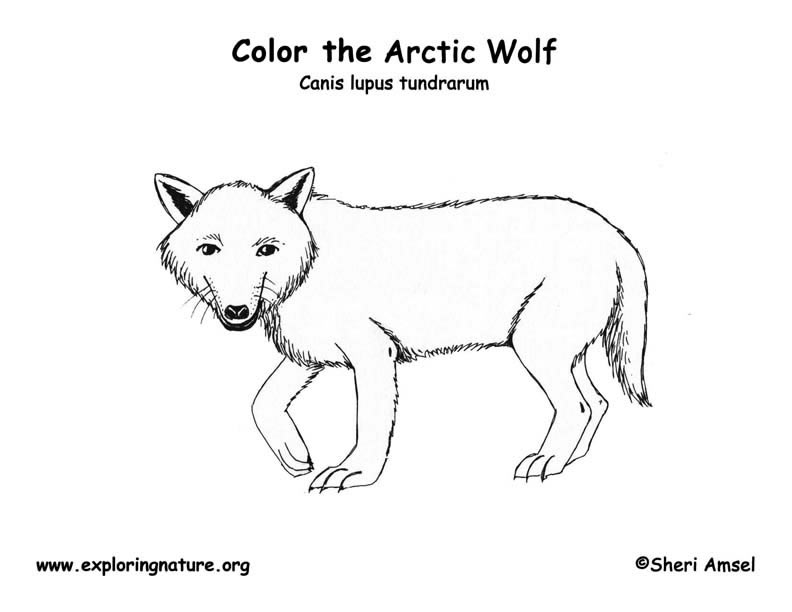 Wolf (Arctic) Coloring Page