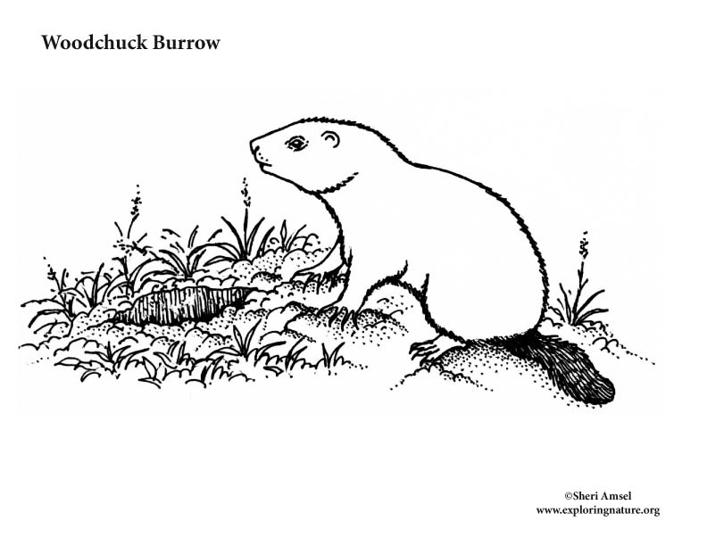 Woodchuck Burrow Coloring Page
