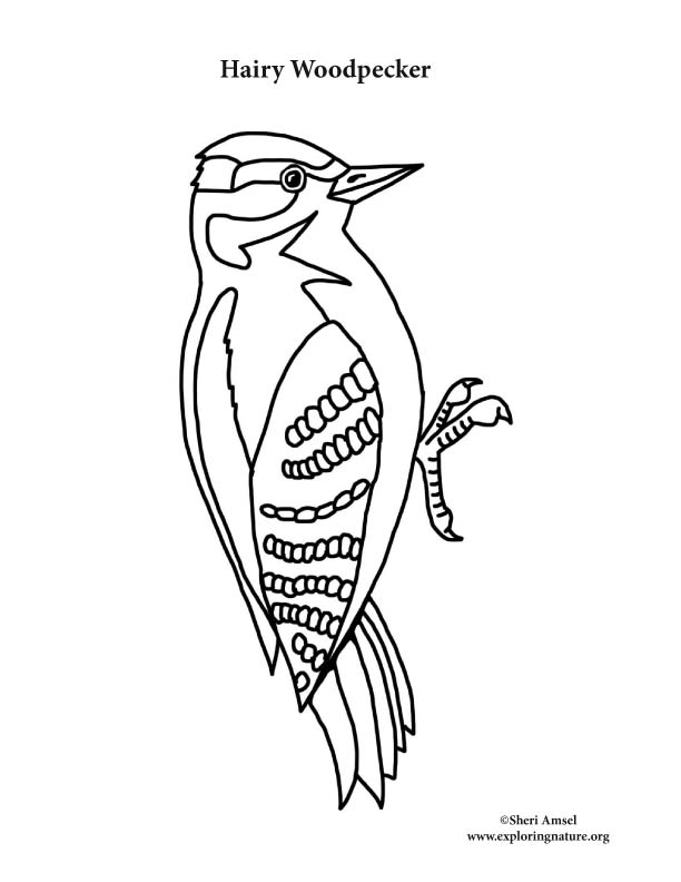 Woodpecker (Hairy) Coloring Page