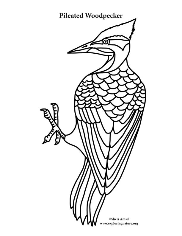 Woodpecker (Pileated) Coloring Page