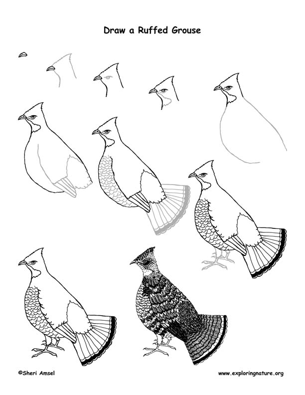 Grouse (Ruffed) Drawing Lesson