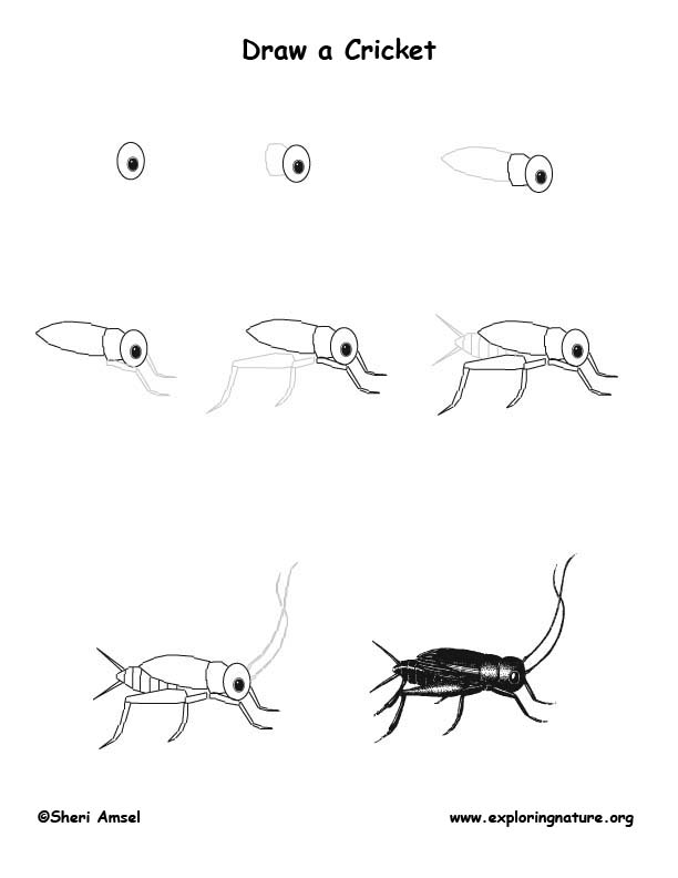 Cricket Drawing Lesson
