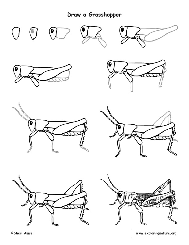 Grasshopper Drawing Lesson