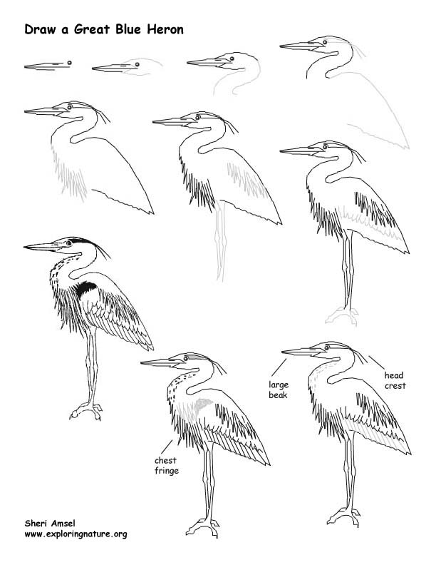 Heron (Great Blue) Drawing Lesson
