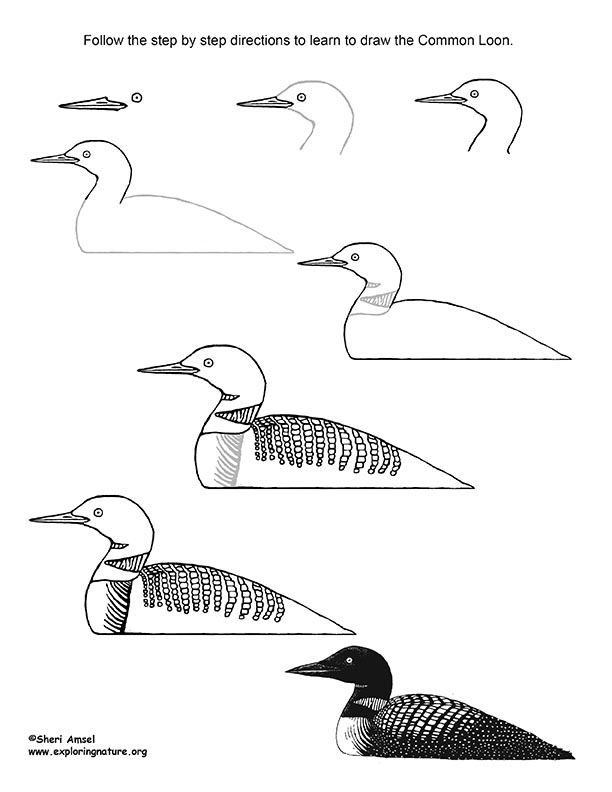 Loon (Common) Drawing Lesson