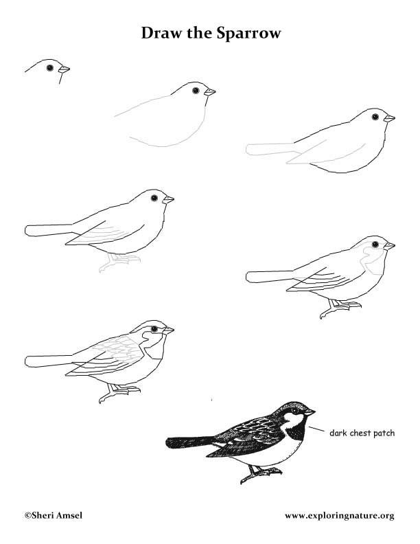 Sparrow (House) Drawing Lesson