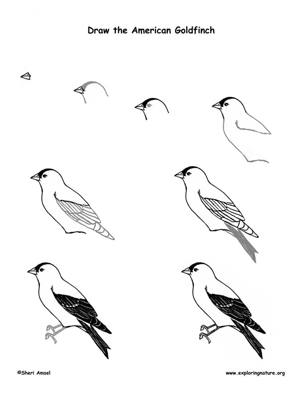 Goldfinch (American) Drawing Lesson