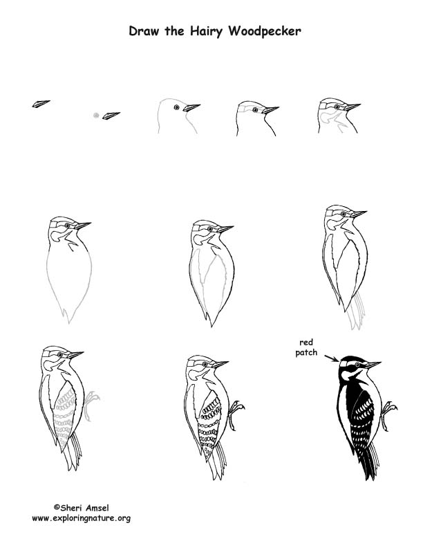 Woodpecker (Hairy) Drawing Lesson