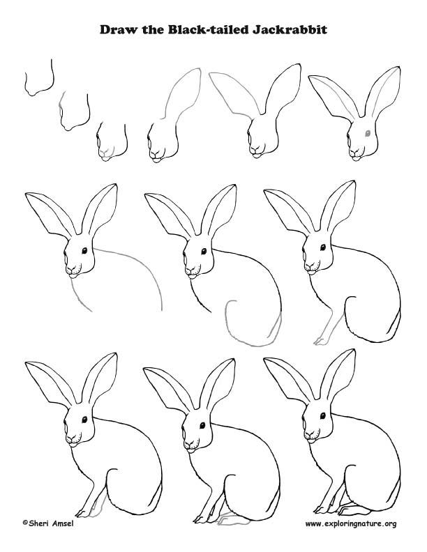 Jackrabbit Drawing Lesson