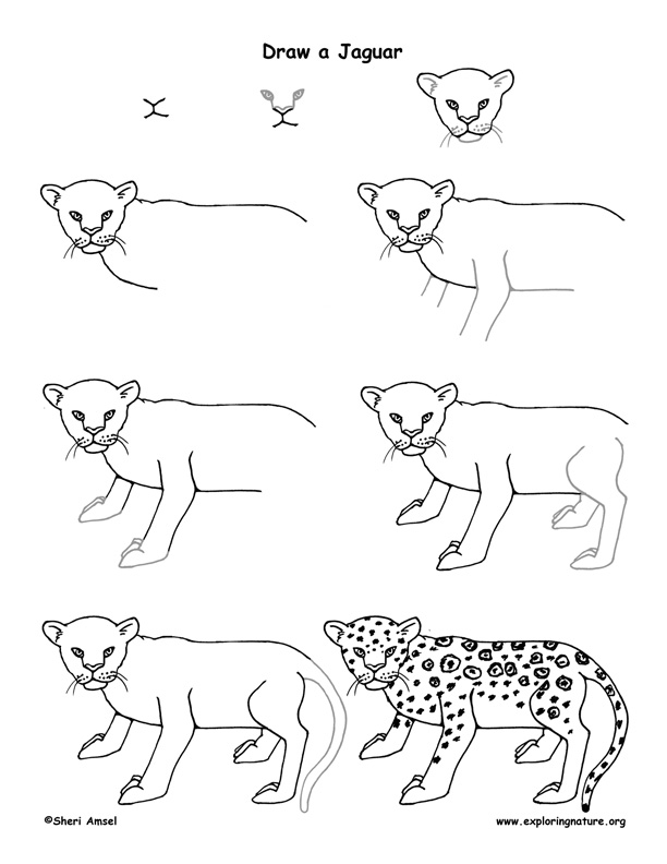 Jaguar Drawing Lesson