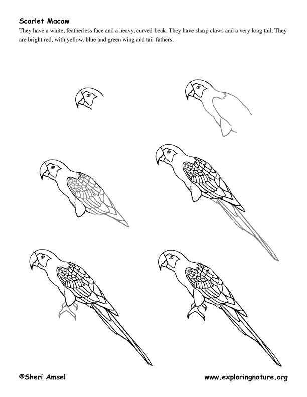 Macaw (Parrot) Drawing Lesson