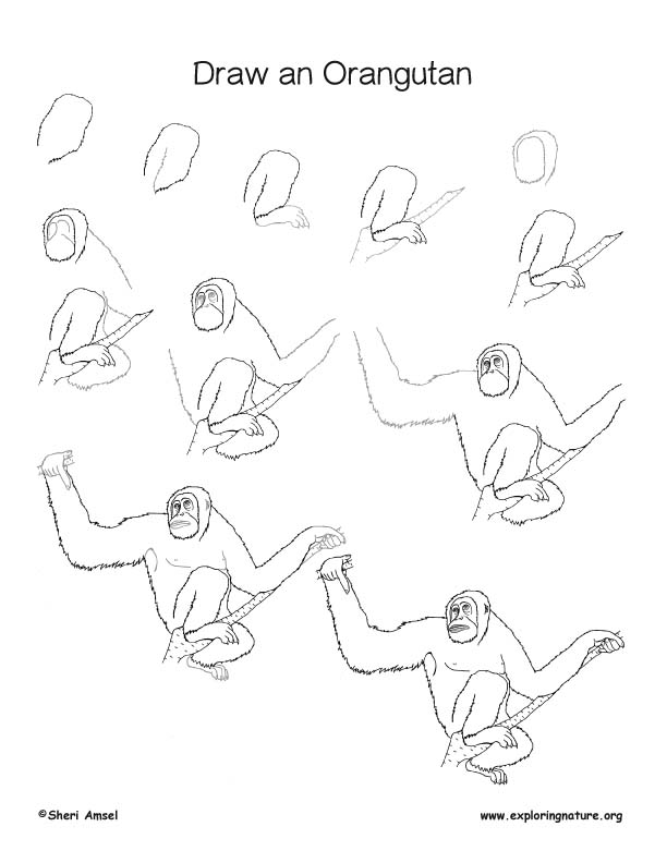Orangutan Drawing Lesson