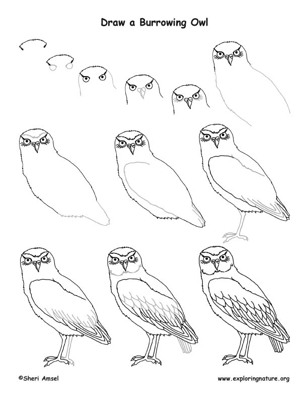 Owl (Burrowing) Drawing Lesson