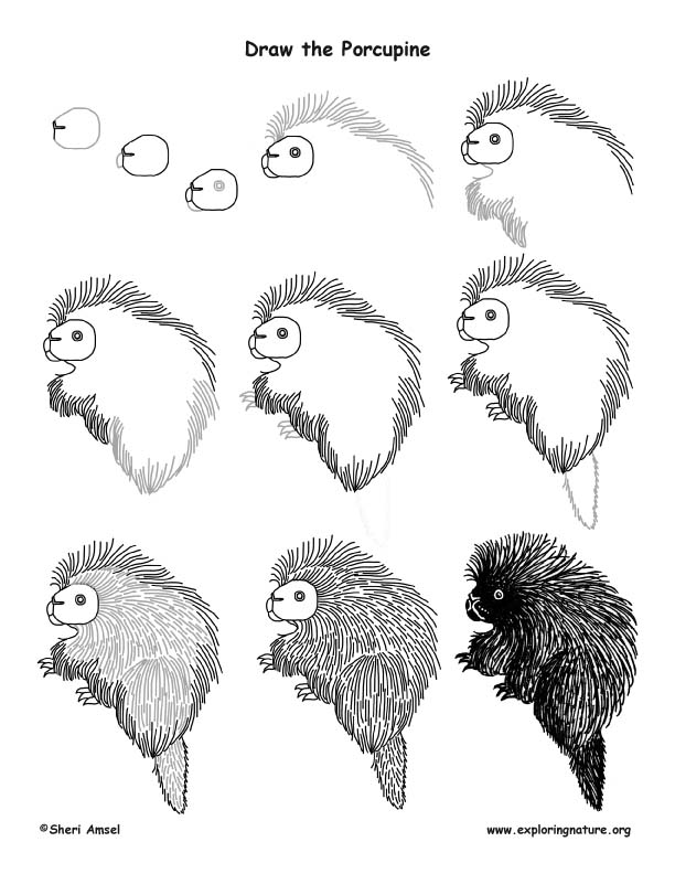 Porcupine Drawing Lesson