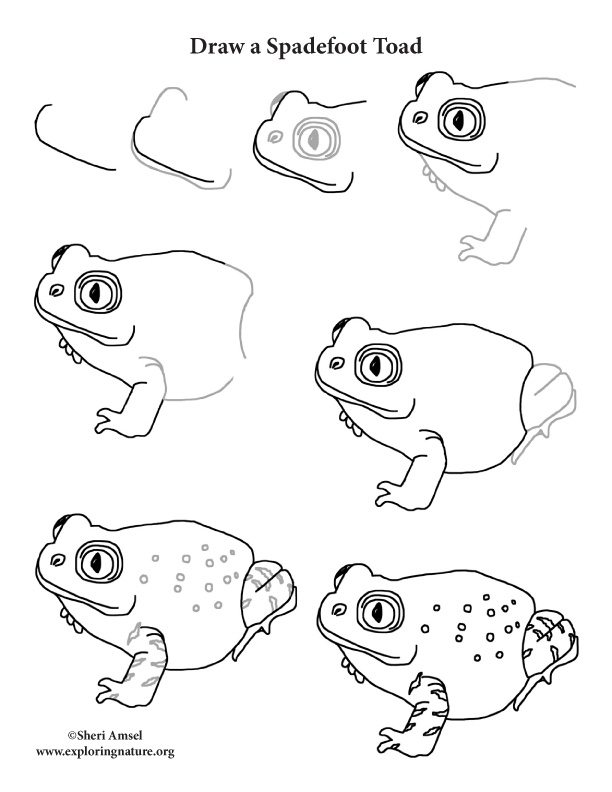 Toad (Spadefoot) Drawing Lesson